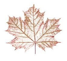 Fall Colors Maple Leaf. by digitaleclectic