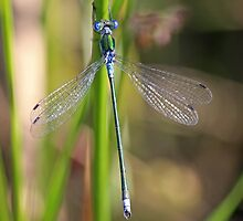 The Emerald Damselfly by Avril Harris