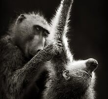 Baboons grooming by johanswanepoel