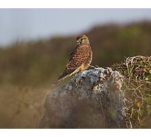 Kestrel.. Photographic Print