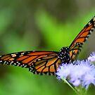 Danaus plexippus - Monarch Butterfly by Matsumoto