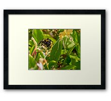 Yet Another Bumble Bee on the Honeysuckle Framed Print