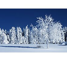 The Snow Paradise Fir Trees Photographic Print