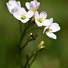 White Cuckoo Flowers by Christina Rollo