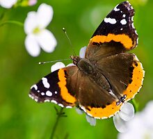 Red Admiral Butterfly by Christina Rollo