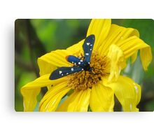 Polka-Dot Wasp Moth (Oleander Moth) on a Mexican Sunflower Canvas Print