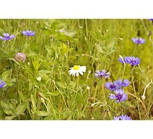 The Lone Daisy In A Field Full of Purple Photographic Print