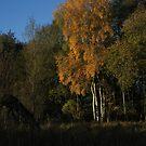 Silver Birch Cluster by wiggyofipswich
