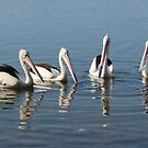 Pelicans by Sandy1949
