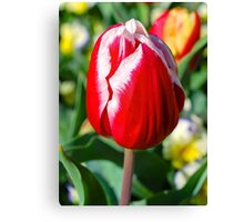 White Tipped Tulip Canvas Print