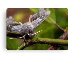 Poplar Moth Canvas Print