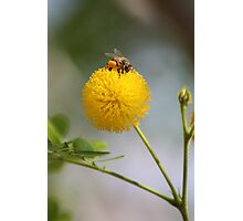 Fluffy Bee Photographic Print