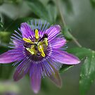 Passion Flower.....Passiflora by Poete100