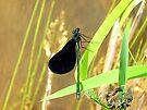 the green damselfly by LoreLeft27
