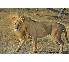 Lion on the Move Photographic Print
