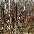 Cattails and Poplars  by Stephen Thomas