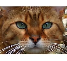 Bengal Domestic Cat Photographic Print
