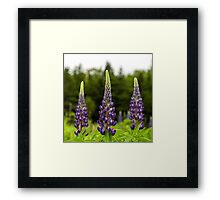 Trio of Lupins Framed Print