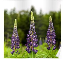 Trio of Lupins Poster