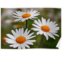 Daisies in my garden always make me smile. Poster