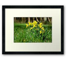 English Native Daffodils Framed Print