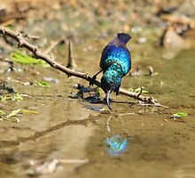 White Belly Sunbird - Beautiful Blue  by LivingWild