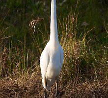 Intermediate Egret by D-GaP