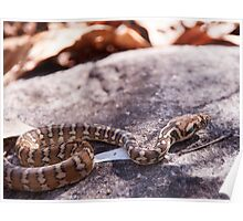 Warm in the Sun, with the Morelia spilota Poster
