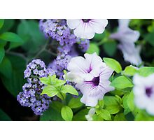 Pretty purple petunias Photographic Print