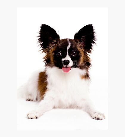Smiling Papillon Puppy Photographic Print