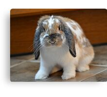 Flopped eared bunny rabbit Canvas Print