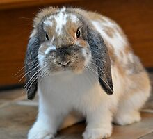 Flopped eared bunny rabbit by ejrphotography