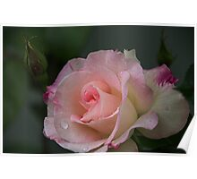 Pale pink rose Leith Park Victoria 20161017 7649 Poster