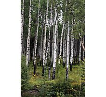 Aspen Grove on Bow Valley Parkway Photographic Print