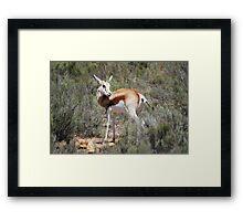 Springbok in the brush Framed Print