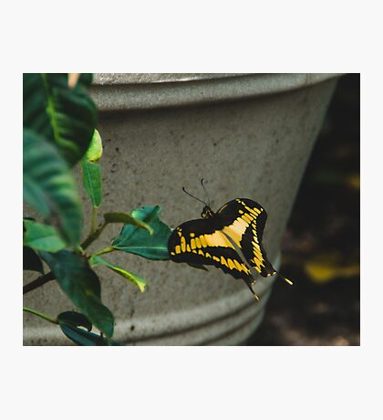 Swallowtail Visitor Photographic Print