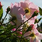 Backhand View in a Rose Garden     ^ by ctheworld
