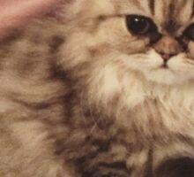 Cute persian kitten  Sticker