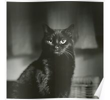 Portrait of black cat square black and white analogue medium format film Hasselblad  photograph Poster