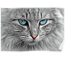 Beautiful Blue eyed Cat Poster