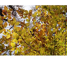 Light Fall Leaves Photographic Print