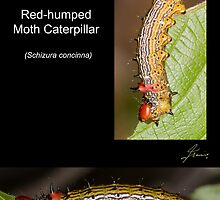 The Red-humped Moth Caterpillar by DigitallyStill