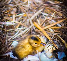 Freshly Hatched Duckling by Shadrags