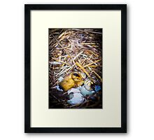 Freshly Hatched Duckling Framed Print