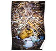 Freshly Hatched Duckling Poster