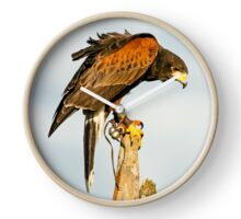 Harris Hawk on watch Clock
