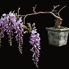 Tamed Wisteria by Chris Allen