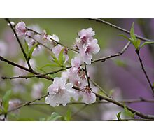 Blossoms at Spring Bluff Photographic Print