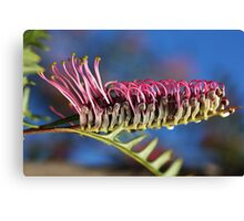 Stand Tall and be Counted- Grevillea Flower Canvas Print