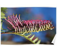 Stand Tall and be Counted- Grevillea Flower Poster